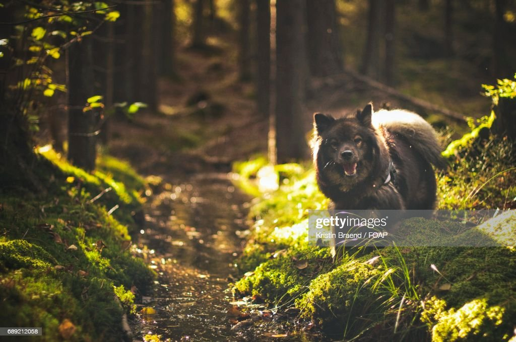 Dog in forest : Stock Photo