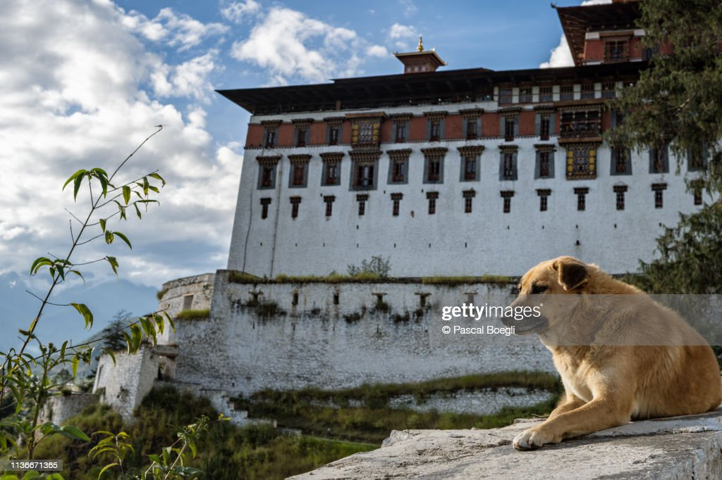 Dog in front of the Paro dzong (Rinpung Dzong), Bhutan : Stock Photo
