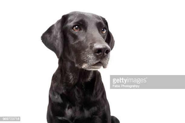 dog in front of white background - labrador preto imagens e fotografias de stock