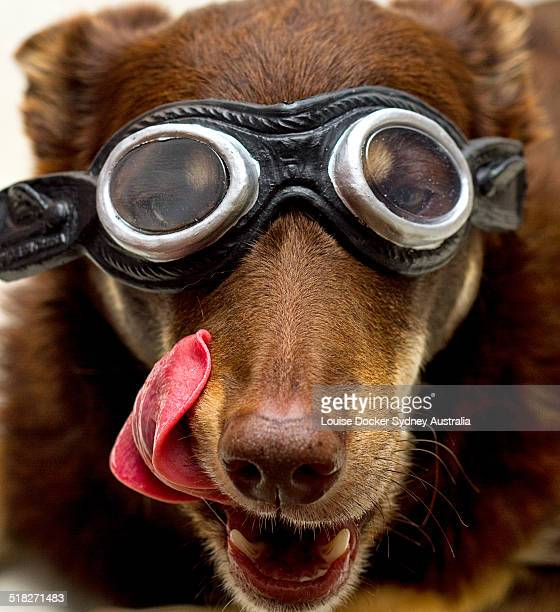 dog in goggles licking lips - flying goggles stock pictures, royalty-free photos & images