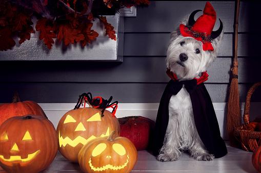 Dog in Halloween Dracula costume 1027751920