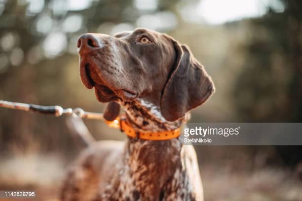 cão na caça - cão adestrado - fotografias e filmes do acervo