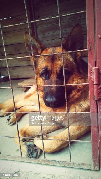 dog in kennel - dog pound stock pictures, royalty-free photos & images
