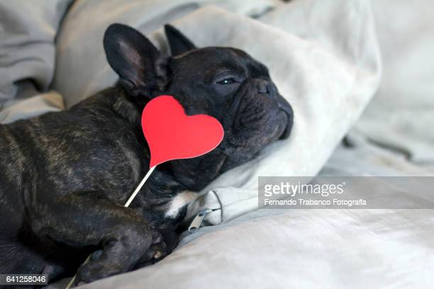 Dog in love lying on a sofa Holding a red heart