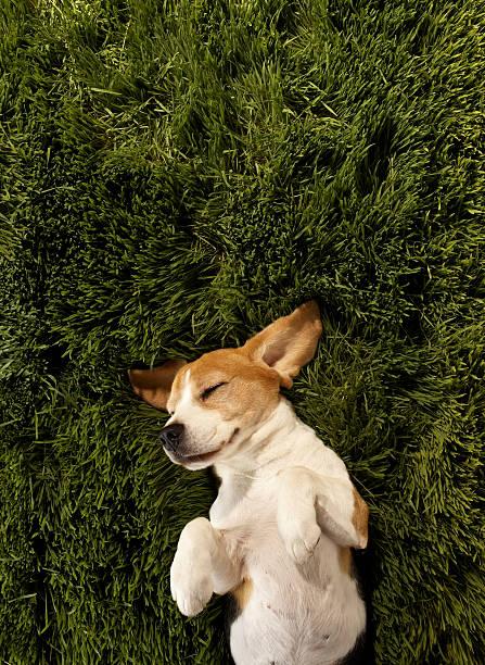 Dog In Lying In Grass Sleeping Wall Art