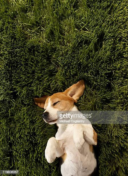 Dog in lying in grass sleeping