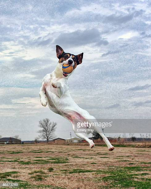 Dog in mid-air catching ball
