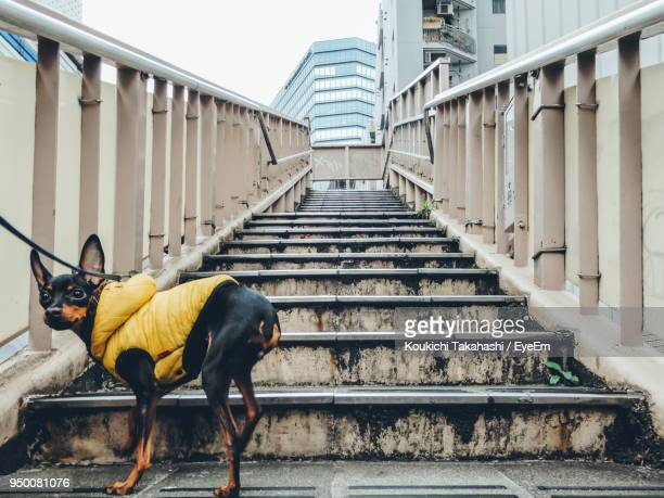 Dog In Pet Clothing Standing On Steps