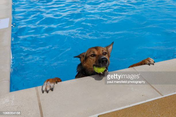 Dog in pool with ball in mouth