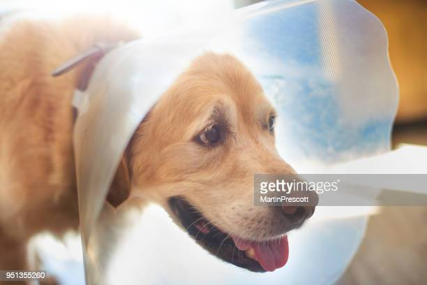 dog in protective collar - healing wound stock pictures, royalty-free photos & images