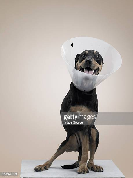 dog in protective collar with a missing leg - elizabethan collar stock photos and pictures