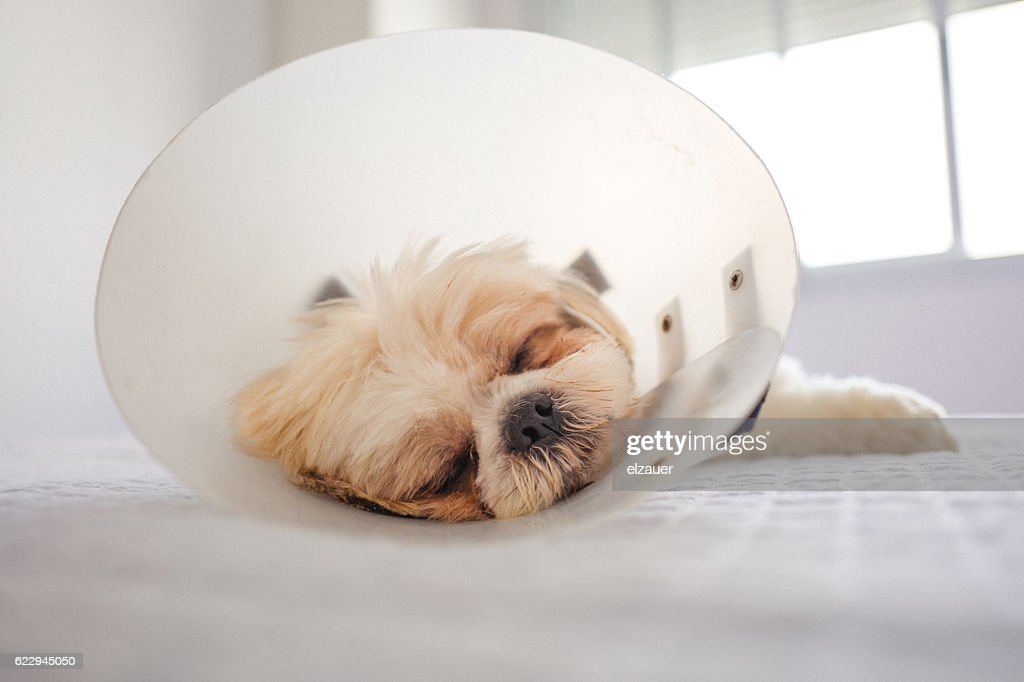 Dog in protective cone : Stock Photo