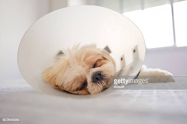 dog in protective cone - cone shape stock photos and pictures