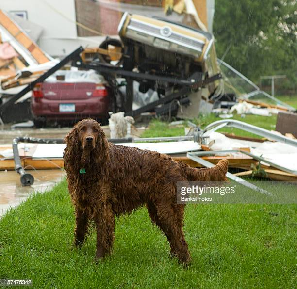 Dog in Rain After Tornado