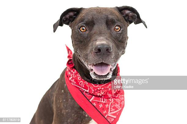 dog in red bandana - bandana stock pictures, royalty-free photos & images
