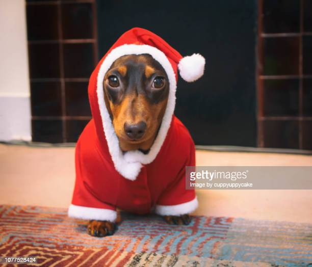 dog in santa suit - dachshund christmas stock pictures, royalty-free photos & images