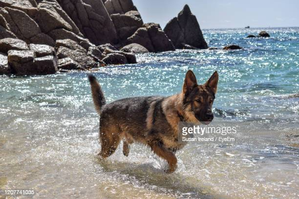 dog in sea - german shepherd stock pictures, royalty-free photos & images
