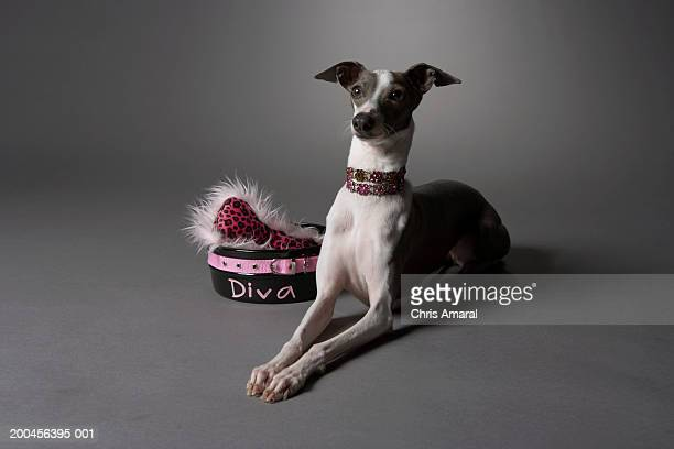 Dog in sitting position with diva bowl