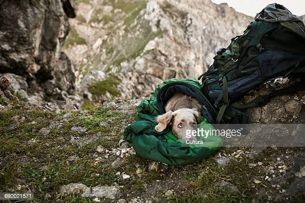 Dog in sleeping bag, on mountainside, Innsbruck, Tyrol, Austria