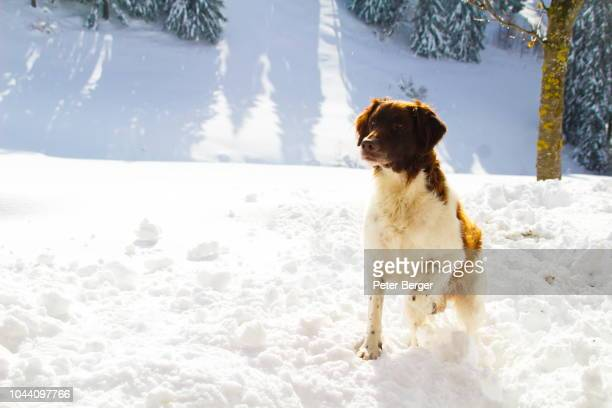 dog in snow - peter snow stock pictures, royalty-free photos & images