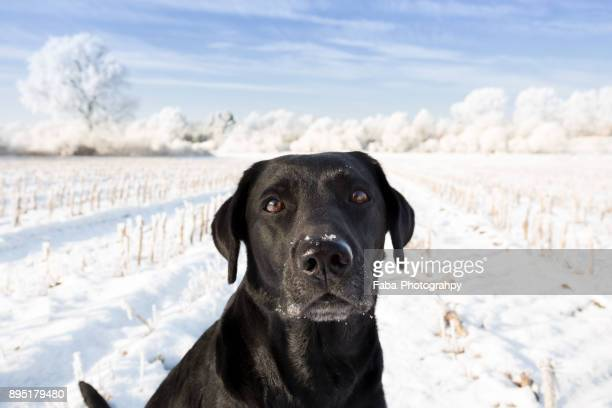 dog in snow - black labrador stock pictures, royalty-free photos & images