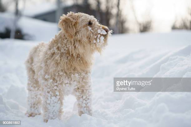 dog in snow - soft coated wheaten terrier stock photos and pictures