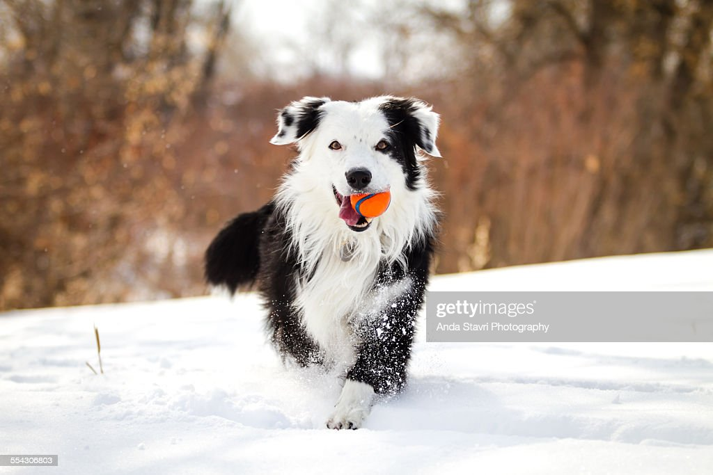 Dog In Snow With Red Ball : Stock Photo