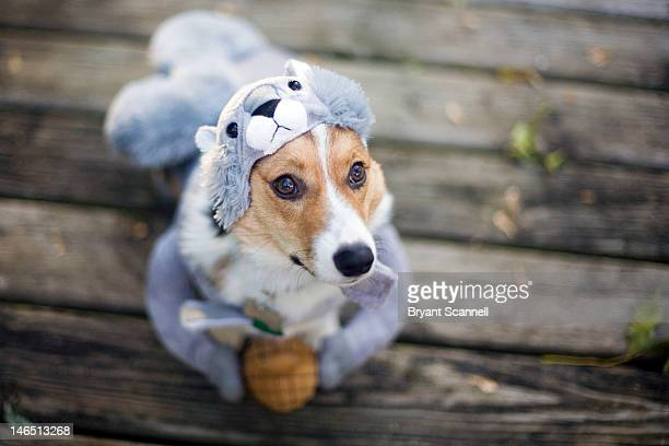 dog in squirrel costume - animal costume stock pictures, royalty-free photos & images
