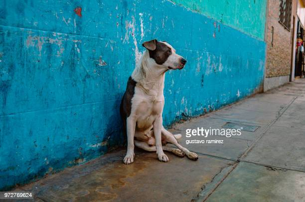 dog in street in front of blue wall - lima animal stock pictures, royalty-free photos & images