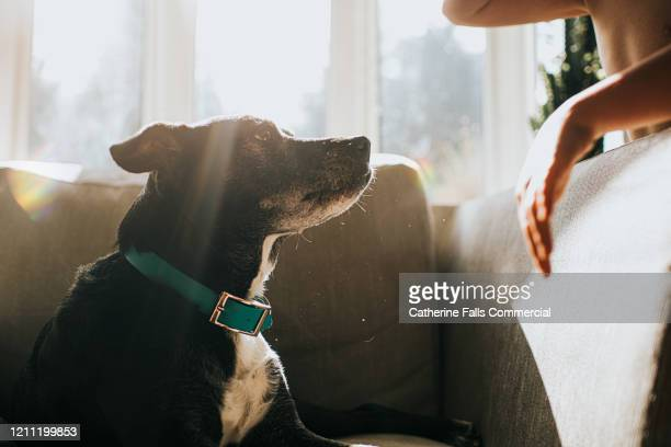 dog in sun on chair - collar stock pictures, royalty-free photos & images