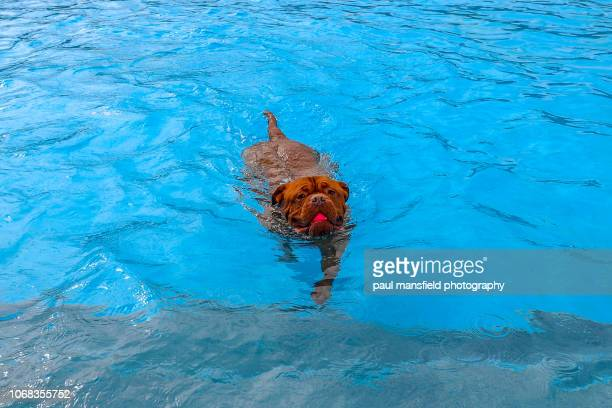 Dog in swimming pool with ball in mouth