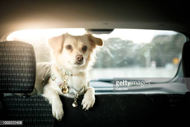 cão no banco de trás do carro - um animal - fotografias e filmes do acervo