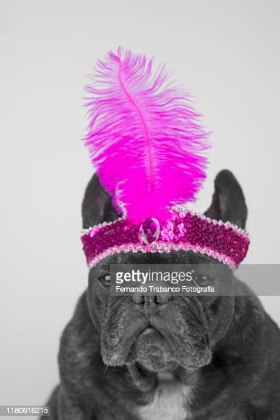 dog in the cabaret - headwear stock pictures, royalty-free photos & images