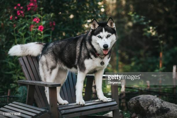 朝の庭の犬 - シベリアンハスキー ストックフォトと画像