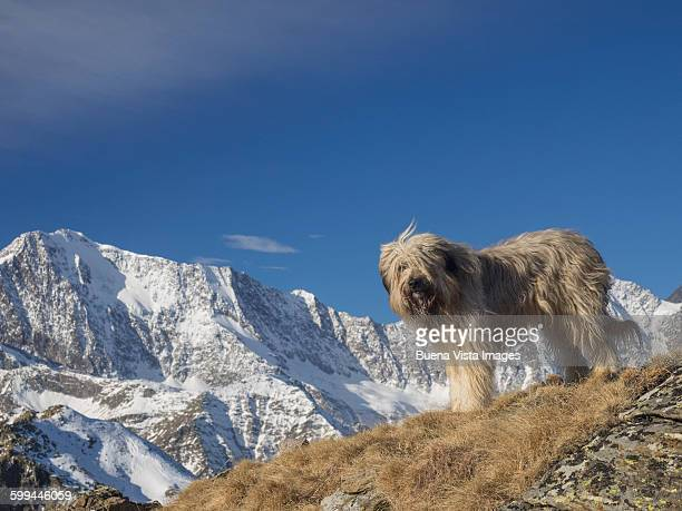 a dog in the mountains - briard stock photos and pictures
