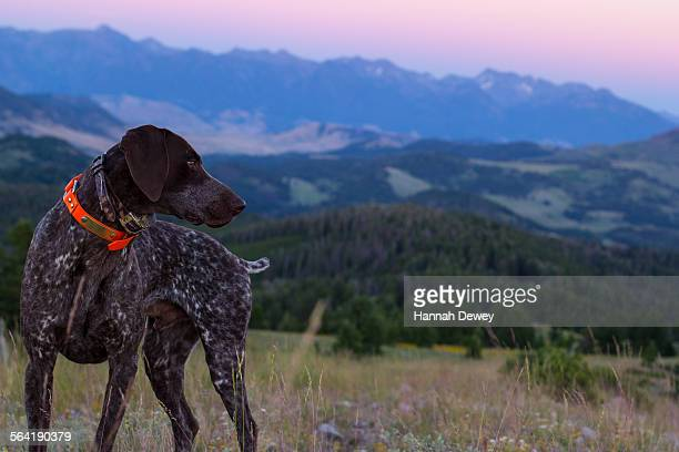 dog in the rocky mountains of montana - german shorthaired pointer stock pictures, royalty-free photos & images