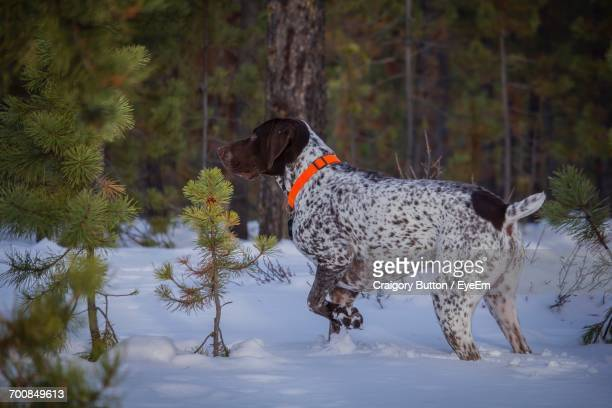 dog in the snow - german shorthaired pointer stock pictures, royalty-free photos & images
