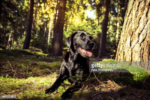 dog in the woods - labrador preto imagens e fotografias de stock