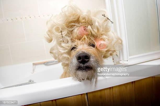 Dog in tub with hair rollers and crazy fur
