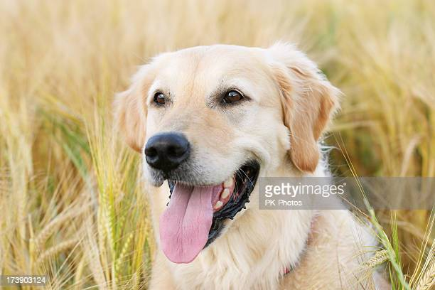 Perro en el campo de trigo