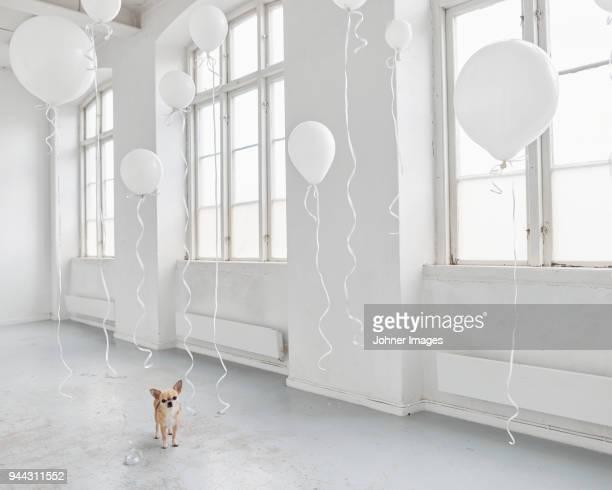 dog in white room with balloons - balão decoração - fotografias e filmes do acervo