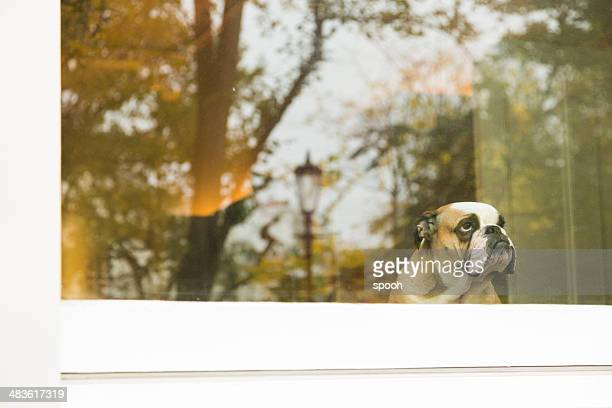 dog in window - raam stockfoto's en -beelden