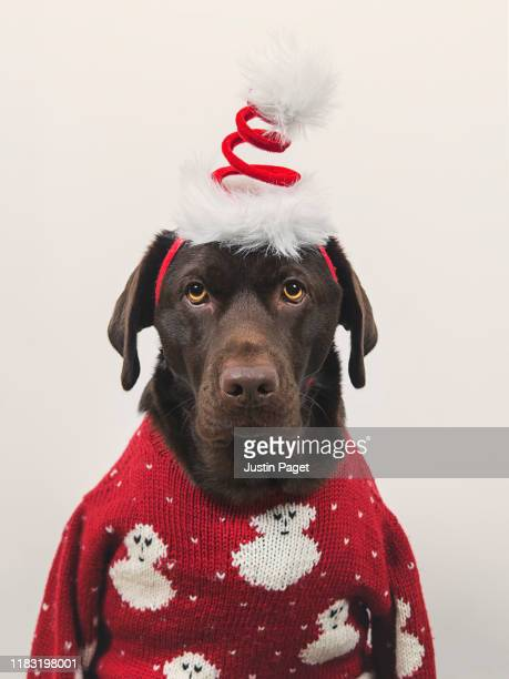 dog in xmas clothes - ugly christmas sweater stock photos and pictures
