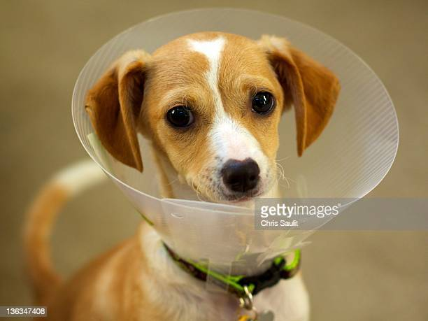 dog inside funnel - elizabethan collar stock photos and pictures