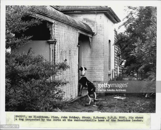 A dog inspected by the RSPCA at the Wentworthville home of the Bandidos leader September 11 1984