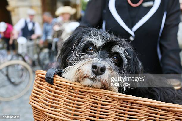 A dog is carried in a basket during the festival of historical bicycles in Moravska Trebova 60 km north of Brno Czech Republic on May 30 2015 About...