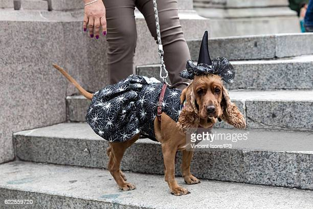 A dog is disguised as a witch during the 'Catrinas Parade' a joyful annual event celebrated at the Day of the Dead on October 23 2016 in Mexico City...