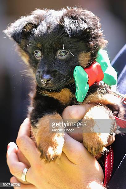 A dog is dressed with a bow tie at QV Square during the Festive Best Dressed Dog Competition for The Lost Dogs' Home charity screening of 'Best in...