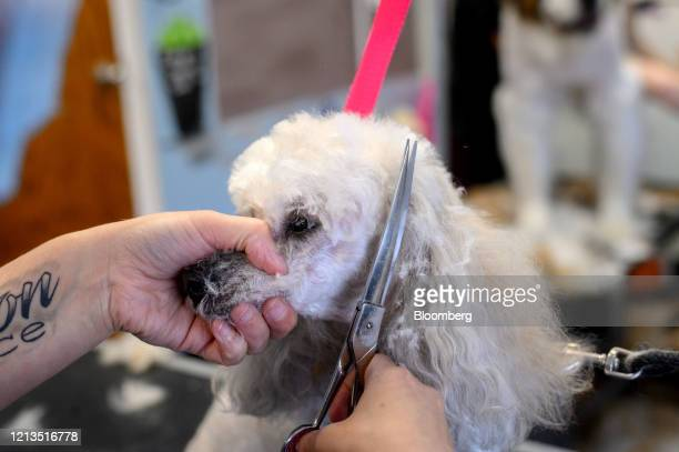 Dog is groomed at a pet grooming salon in Finleyville, Pennsylvania, U.S., on Friday, May 15, 2020. The phenomenon is largely anecdotal, but evidence...