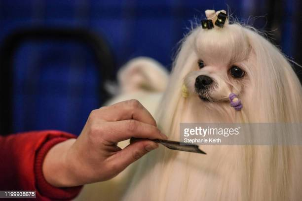Dog is groomed before participating in the 144th annual Westminster Kennel Club Dog Show on February 10, 2020 in New York City. The show brings more...